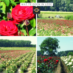 wat te doen in lede rozen velden 6 kerken